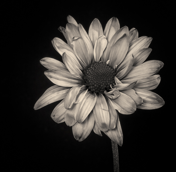 Black And White Photography of Flowers With Color Black And White Photography