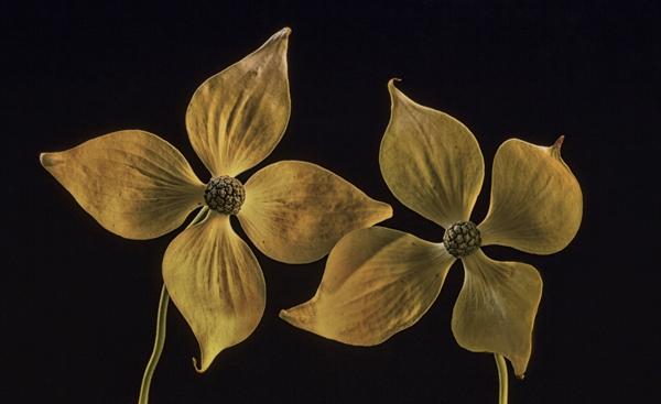 indoor flower photography setup dogwood blooms martin belan