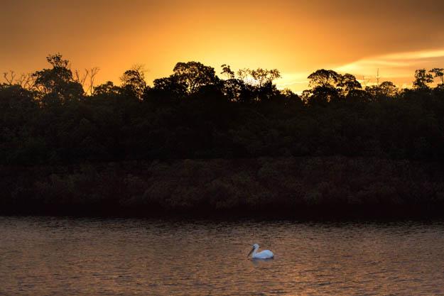 White Pelican Alone in the Sunrise