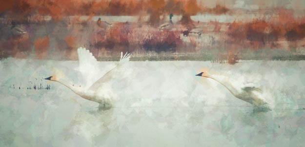 Tundra Swan Takeoff Watercolor Effect