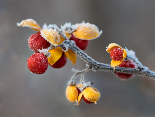 Winter Berries With Yellow Leaves