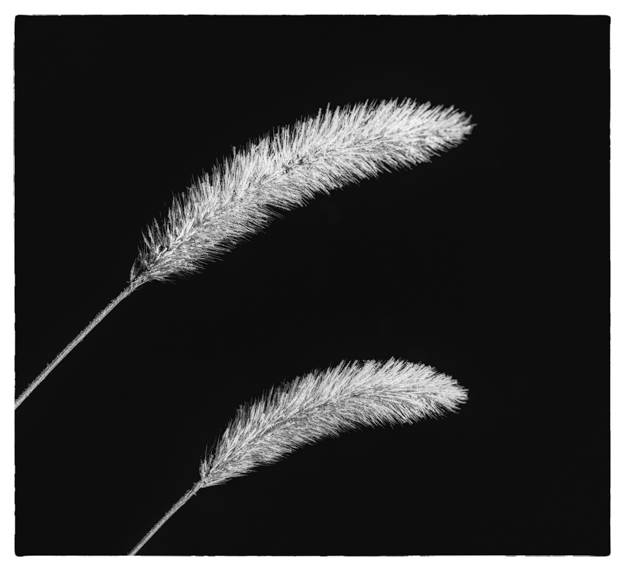Winter Grass - Black and White