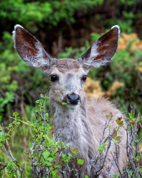 Munching Mule Deer