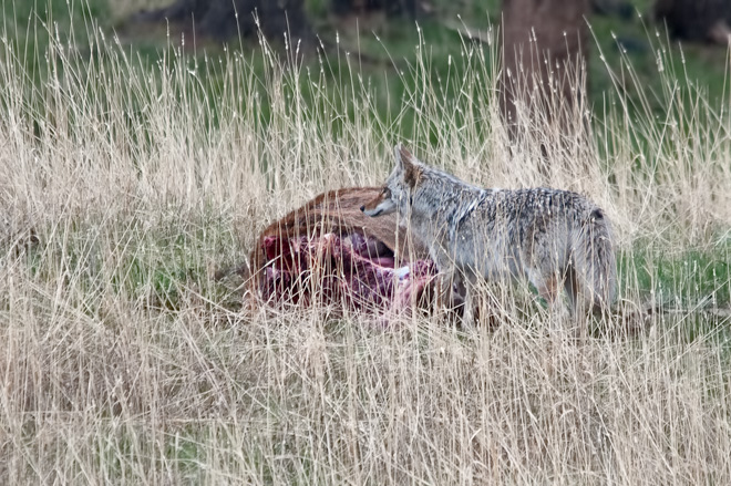 Coyote protecting a carcass