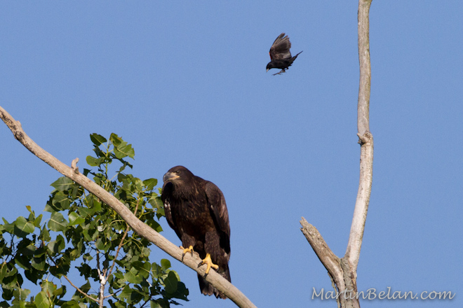 Blackbird dive bombing a juvenile bald eagle