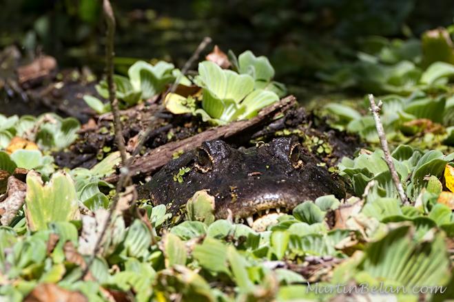 Alligator in hiding, Corkscrew Swamp Sanctuary