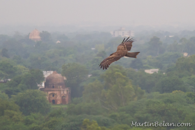 Steppe Eagles over New Delhi