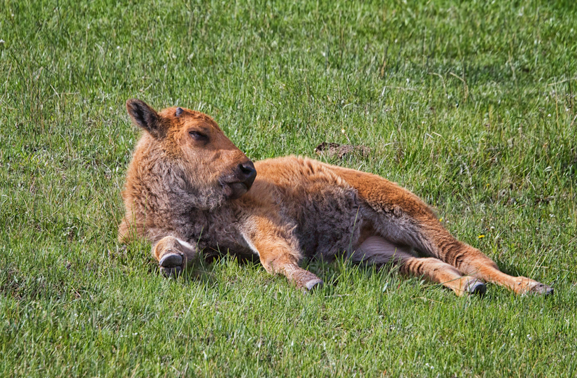 Bison Baby Soaking in the Sun