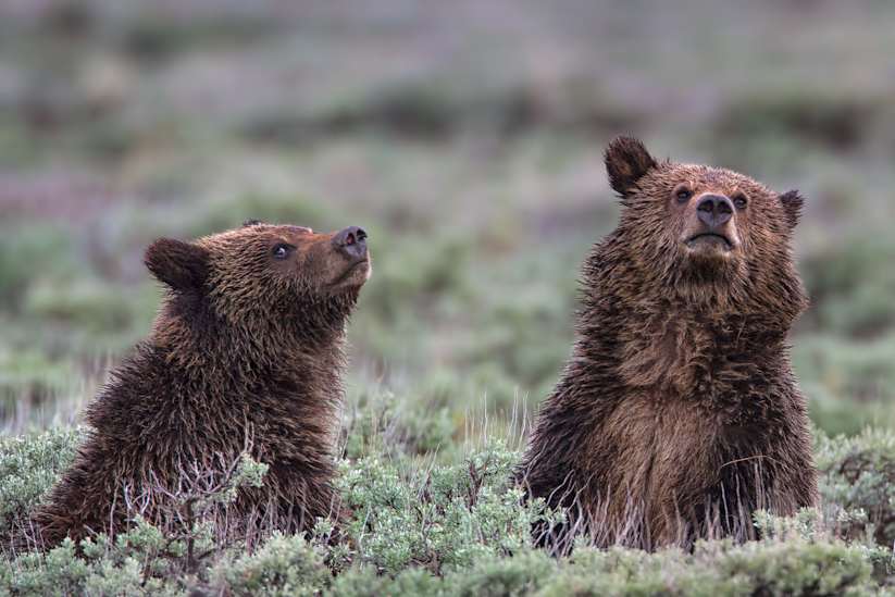 Grizzly Cubs Yellowstone
