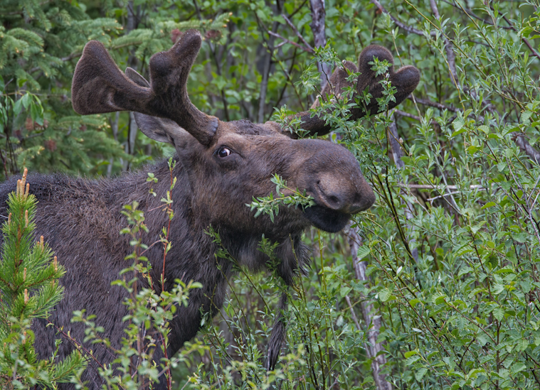 Munching Moose - Yellowstone National Park