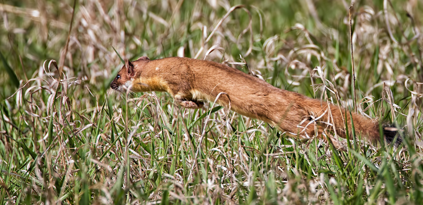 Weasel Jumping to catch a baby ground squirrel