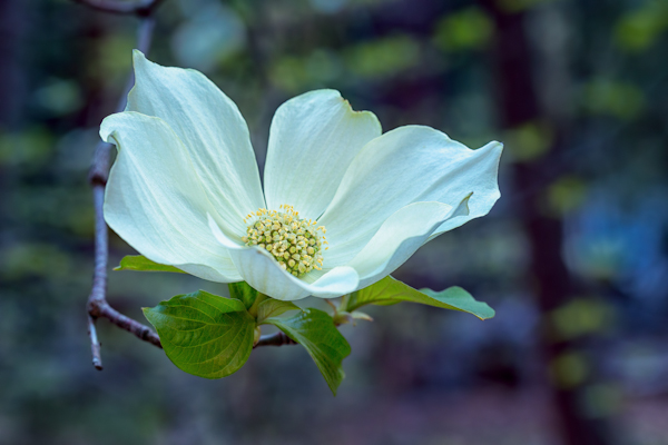 Yosemite - Dogwood Bloom at Happy Isles