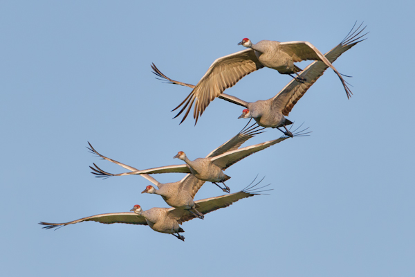 Sandhill Cranes 5 in Flight