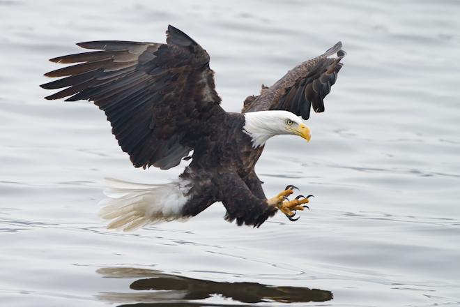 Bald Eagle Ready to Strike