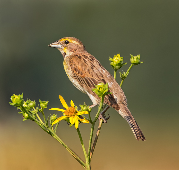 Male Dickcissel Perched in the Flowers