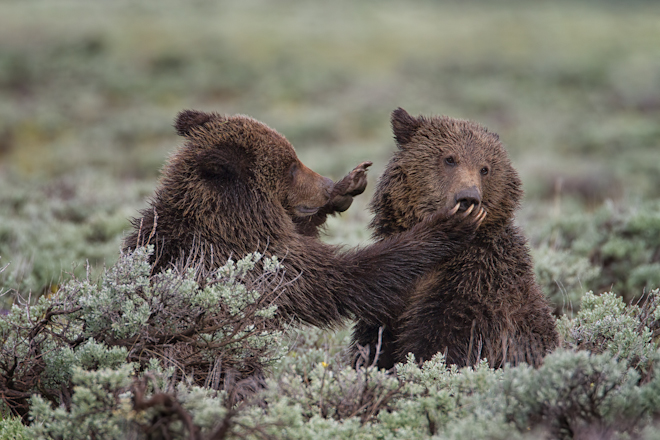 Yellowstone Grizzly Cubs Playing