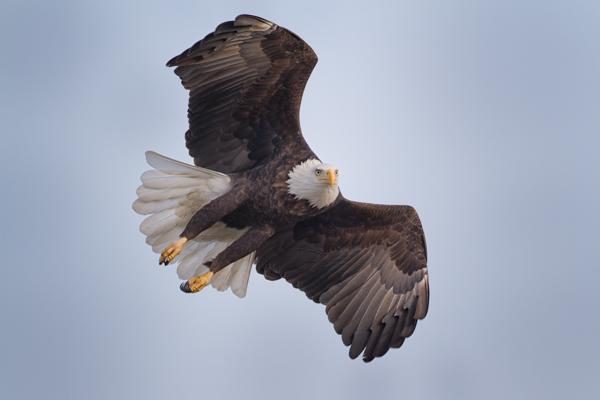 Bald Eagle, In Flight Turn