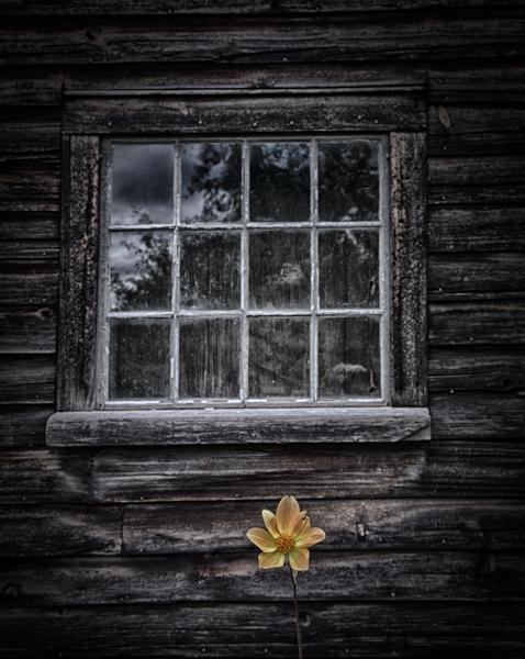 Single Flower Under an Old Window