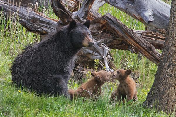 Cinnamon Black Bear Cubs Playing