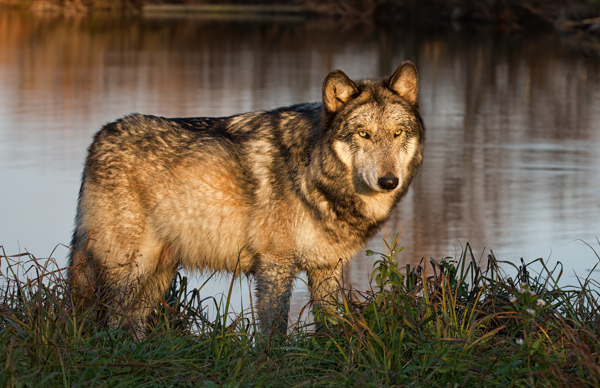 Gray Wolf at Sunset