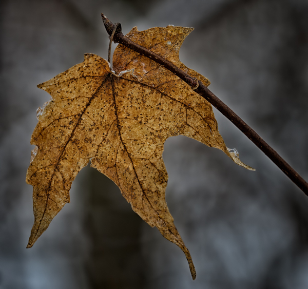 Winter leaf Hanging On