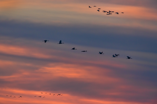 Sandhill Cranes Across the Sunset