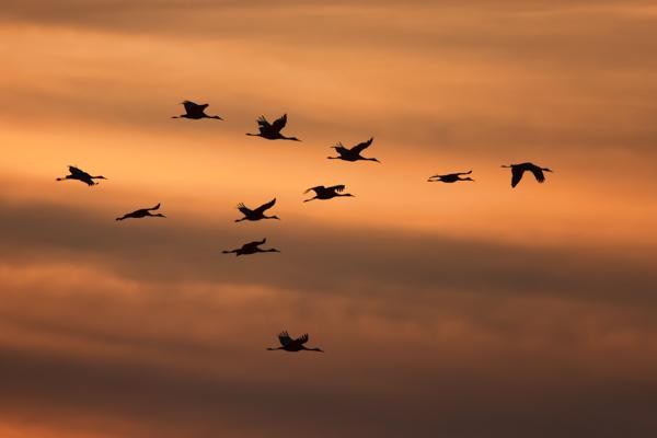 Sandhill Crane Formation at Sunset