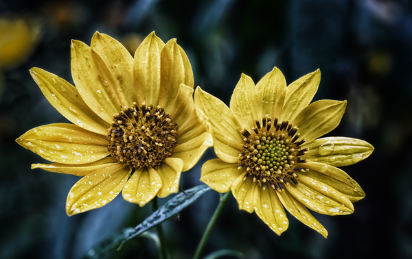 Twin Yellow Flowers