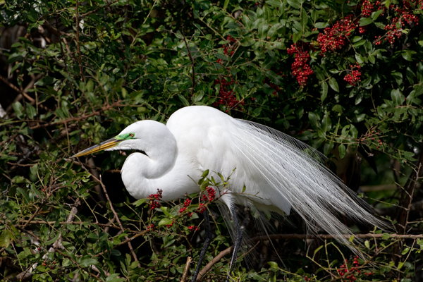 Great Egret in Breeding Plumage Venice Rookery
