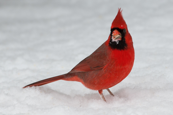 Snow Faced Northern Cardinal with a Seed