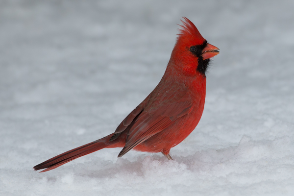 Red Cardinal in the Snow