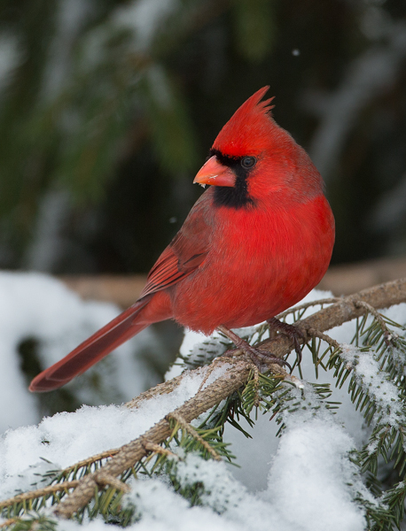 Male Northern Cardinal on a Snowy Tree Branch