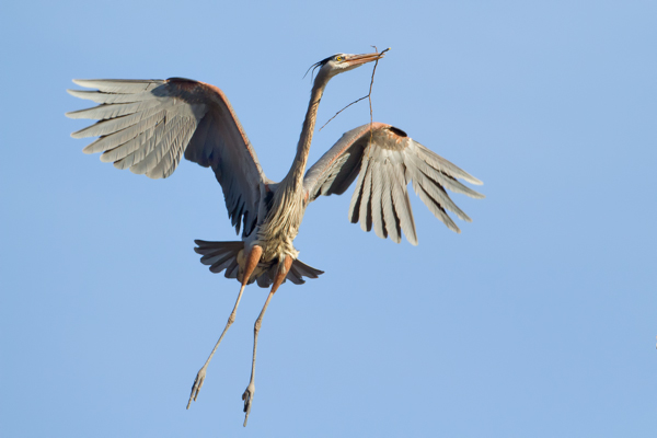 Great Blue Heron, Nest Building