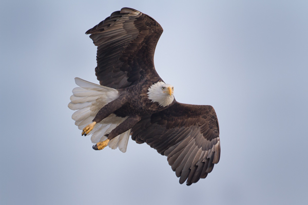 Bald Eagle In Flight Turn
