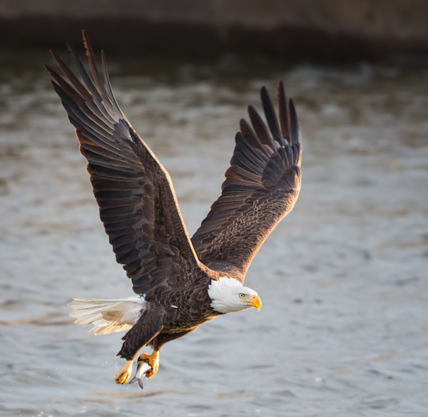 Bald Eagle Fishing Take Off