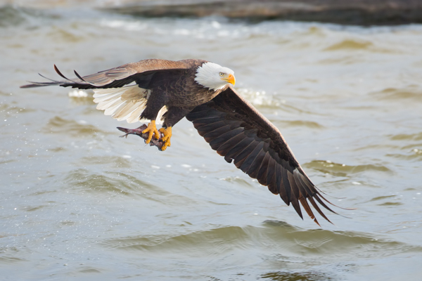 Bald Eagle with a Nice Catch