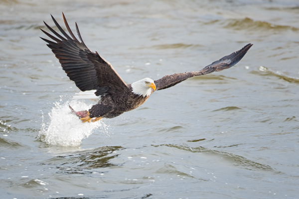 Bald Eagle Fishing Explosion