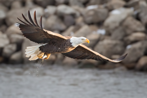 Bald Eagle with a Fresh Catch