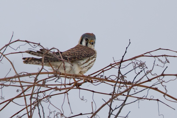 American Kestrel Killdeer Plains