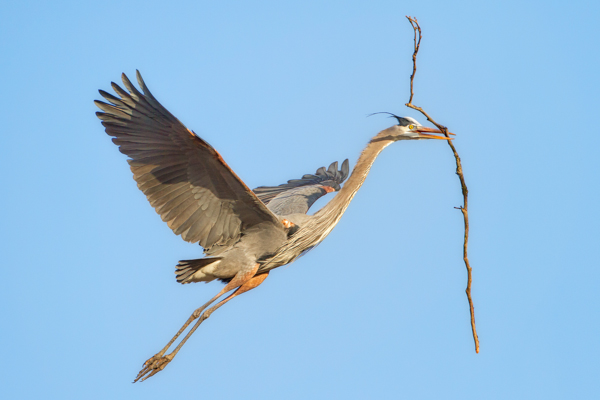 Great Blue Heron Delivering a Stick to the Nest