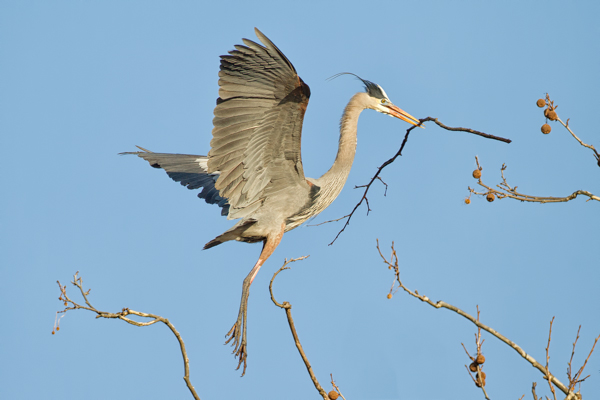Great Blue Heron in the Tree Tops