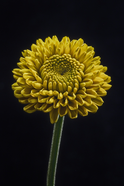 Yellow Flower - Home Macro Photography Studio