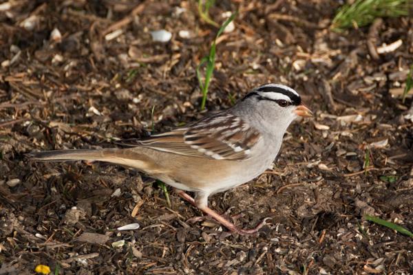Backyard Birds 2X Teleconverter Test