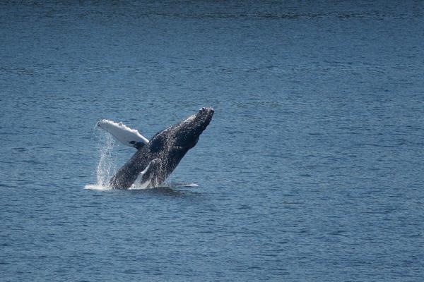 Alaska Humpback Breaching Sequence 2