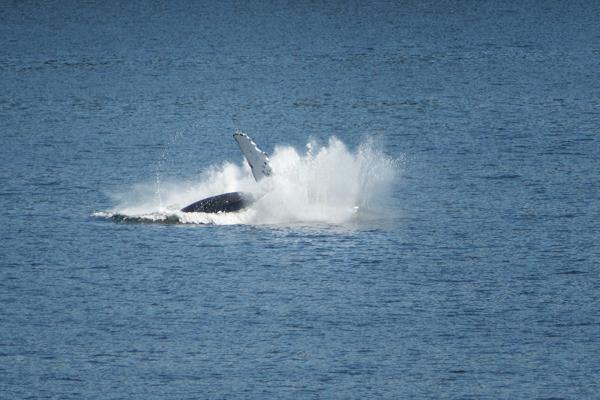Alaska Humpback Breaching Sequence 6