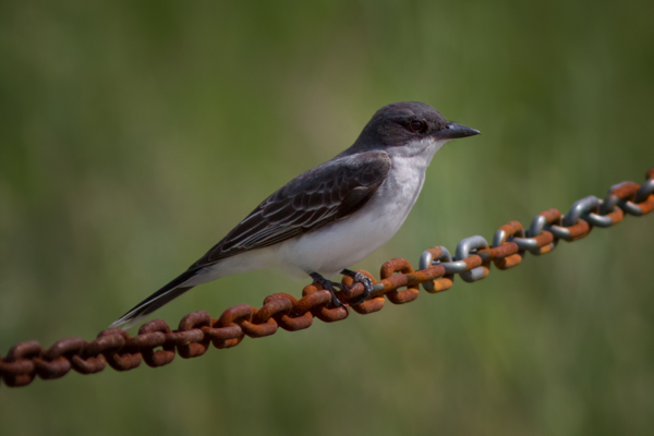 Eastern Kingbird on a Chain