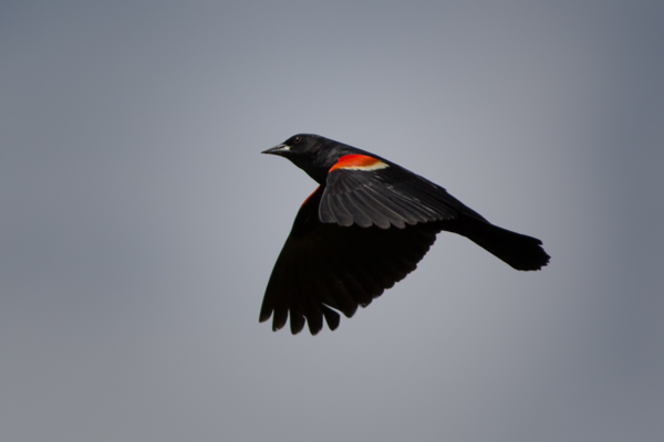 Red-Winged Blackbird in flight