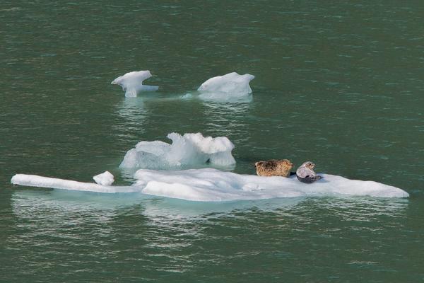 Harbor Seals Sawyer Glacier Alaska