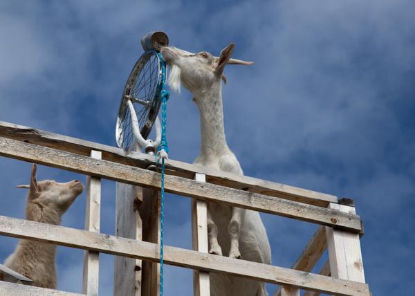Caribou Crossing Yukon - Goat Pulling a Rope