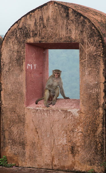 Jaigarh Fort Monkey